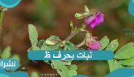 نبات بحرف ظ له رائحة طيبة فما هو ؟